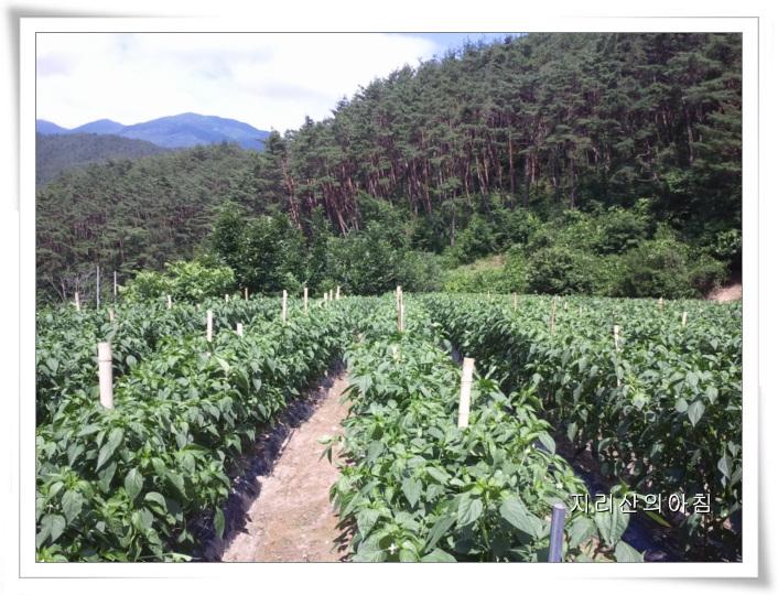 고추밭-2013-06-30 09.57.15 (2).jpg