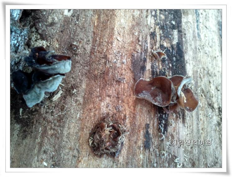 버드나무목이-2013-14.38.07 (13).jpg