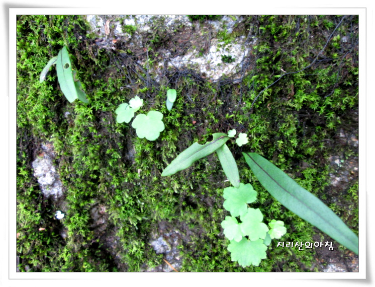 일엽초-IMG_5794.jpg