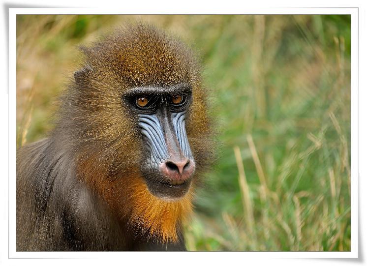 c-04-맨드릴개코원숭이.jpg