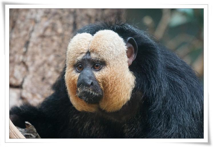 c-08열대우림-남성원숭이.jpg