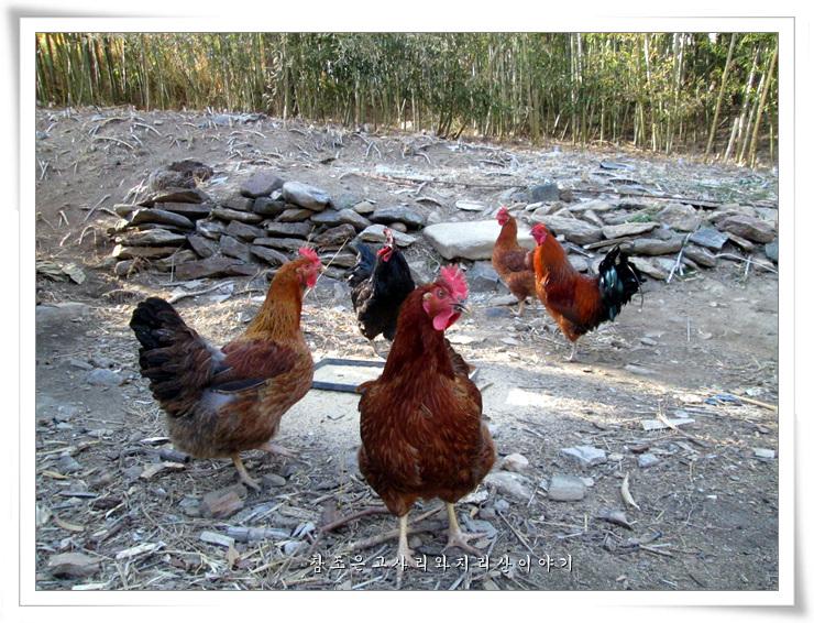 닭의해.jpg